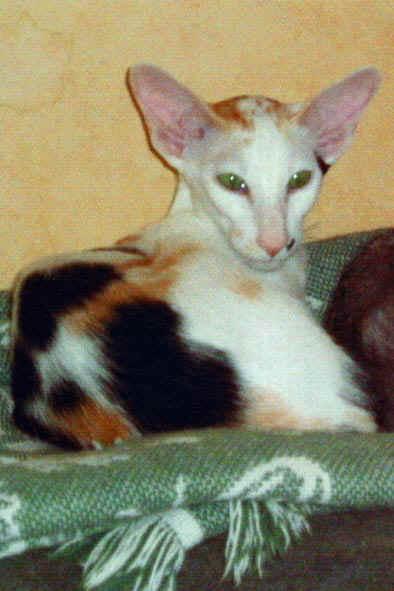 Génétique de la couleur du chat  Les bi et tricolores