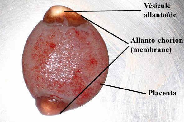 Gestation ce qui se produit - 9 semaines de grossesse risque de fausse couche ...