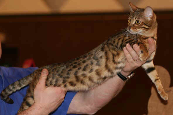 Chat Bengal Brown Spotted Tabby Chat Tigre Du Bengale A Donner