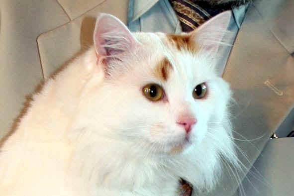 van chat Tout sur le chat turkish van : caractéristiques physiques, mode de vie, caractère, origines, conseils, sant.