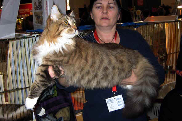 [Maine Coon brown mackerel tabby et blanc, Warum de la Beauté du Maine  proprietaire
